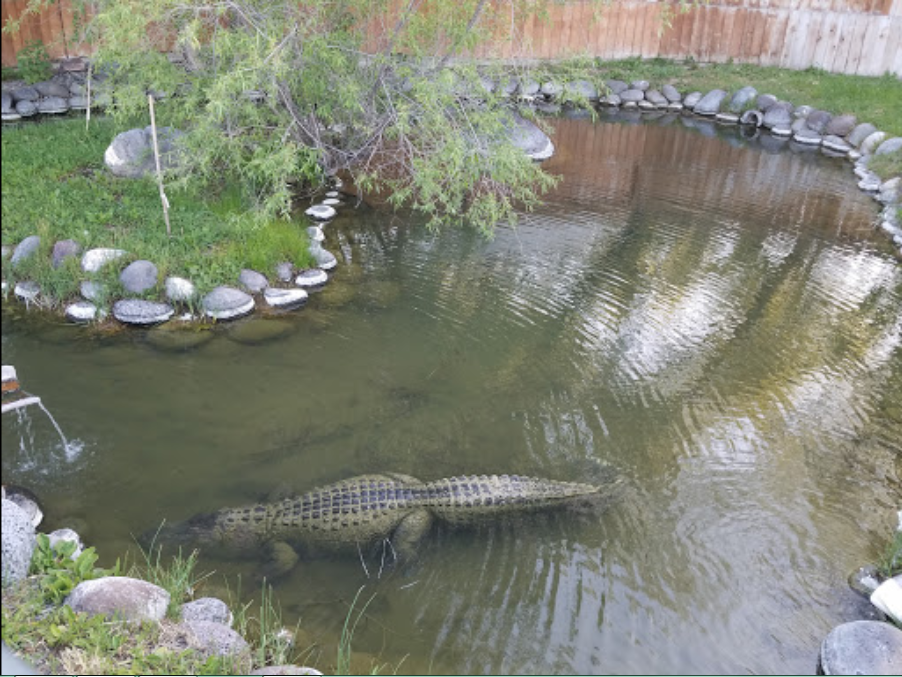 Alligators Live At Miracle Hot Springs In Buhl Idaho