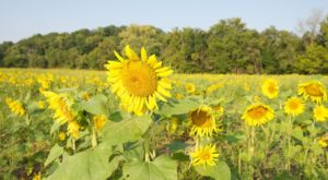 Most People Don't Know About This Magical Sunflower Field Hiding In Louisville