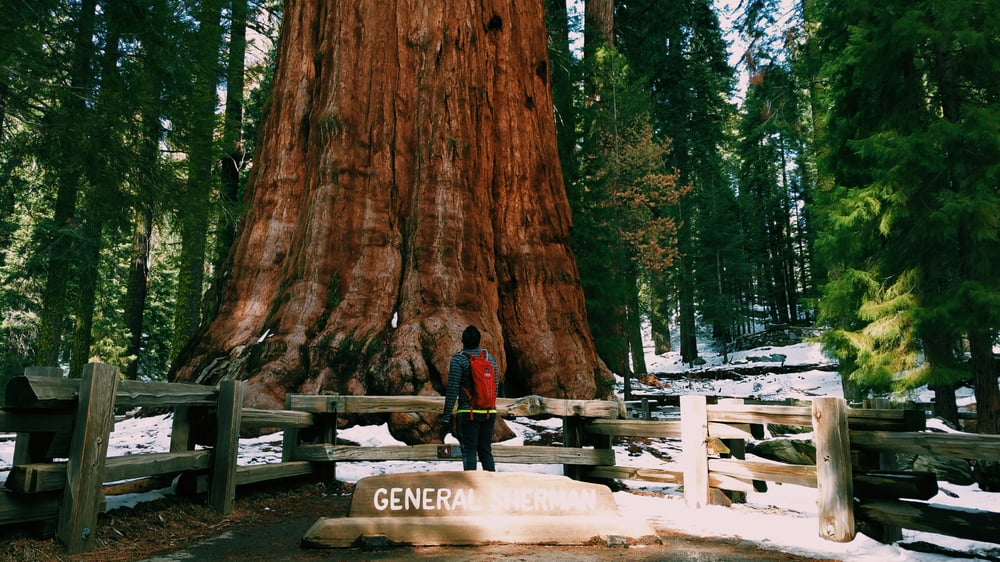 General Sherman Is The Largest Tree In The World And It S