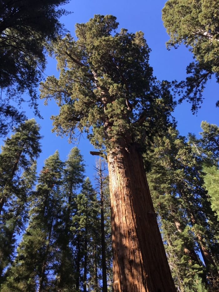 General Sherman Is The Largest Tree In The World And It's ...