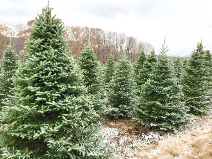 Best Tree Farms To Cut Your Own Christmas Tree Near Buffalo