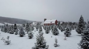 9 Magical Christmas Tree Farms To Visit Near Buffalo This Season