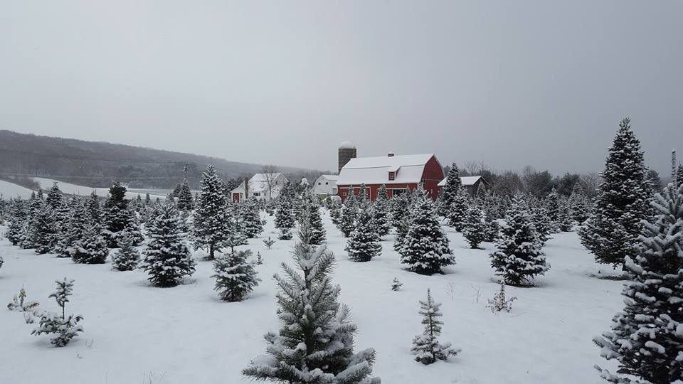 Best Tree Farms To Cut Your Own Christmas Tree Near Buffalo