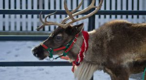 This Reindeer Farm In Vermont Will Positively Enchant You This Season