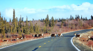 16 Wild Animals You Can See On Just By Taking A Roadtrip Through Alaska