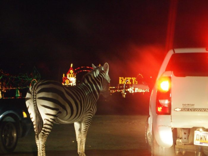 but this annual event is worthy of a cross state trip as you and your family make your way to the only holiday lights safari in the palmetto state