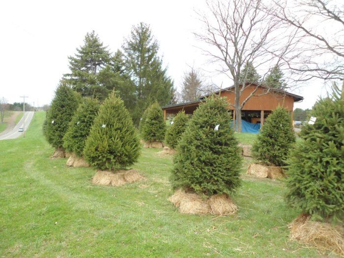 10 Magical Christmas Tree Farms In Pennsylvania