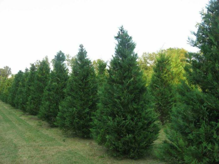 Duncan Christmas Tree Farm and Gift - Selmer - 10 Magical Christmas Tree Farms To Visit In Tennessee This Season