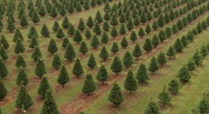 The One Magical Christmas Tree Farm To Visit In Hawaii This Season