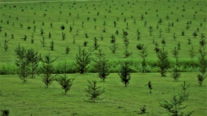 Kandi Kane Christmas Tree Farm - Clarksville - 10 Magical Christmas Tree Farms To Visit In Tennessee This Season