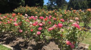 Most People Don't Know This Dazzling Rose Garden In San Francisco Even Exists