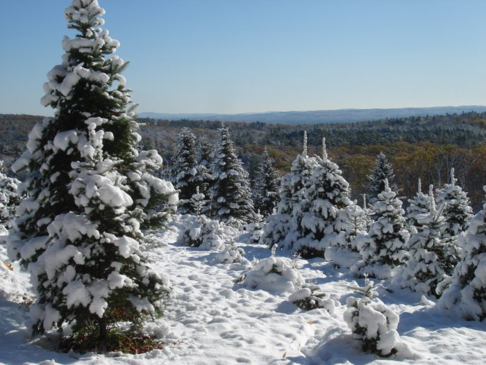 Pick a Perfect Christmas Tree at These 11 New Hampshire Farms