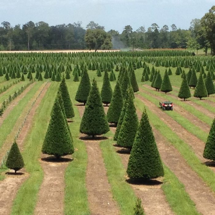 Grant Christmas Tree Farm/Facebook - This Christmas Farm In Louisiana Will Positively Enchant You This Season