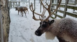 Most People Don't Realize You Can See Real Live Reindeer Right Here In Milwaukee