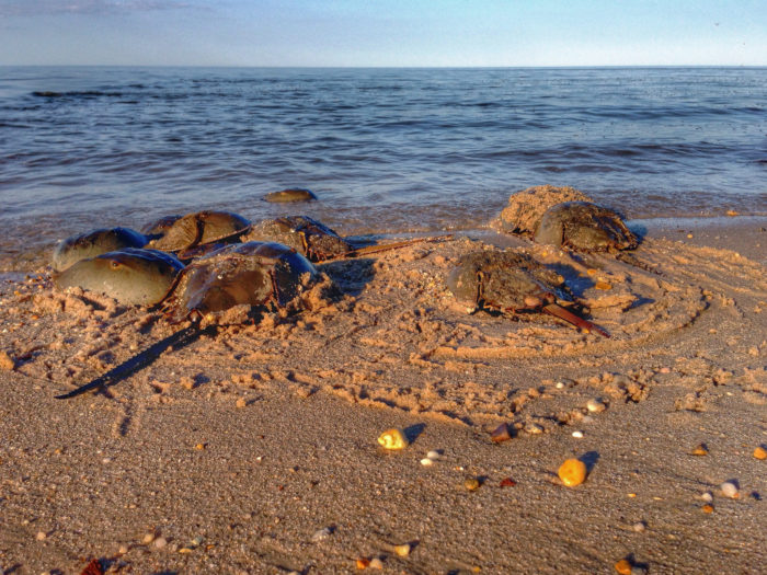 In Fact There Are Many Times More Horseshoe Crabs Than People The Town At Any Given Time