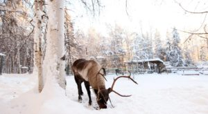 This Reindeer Farm In Alaska Will Positively Enchant You This Season