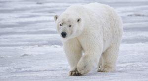 This Island Village In Alaska Has More Polar Bears Than People