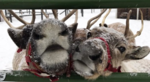 This Reindeer Farm In Washington Will Positively Enchant You This Season