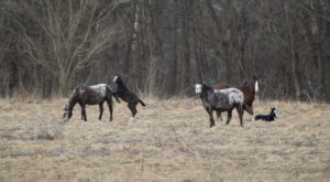 This Amazing Herd Of Wild Horses Can Be Found Right Here in Missouri