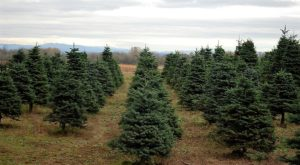 3 Magical Cut-Your-Own Christmas Tree Spots Around Portland