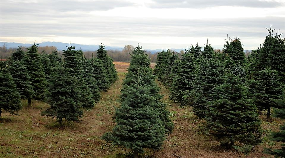 3 Places To Cut-Your-Own Christmas Tree Around Portland