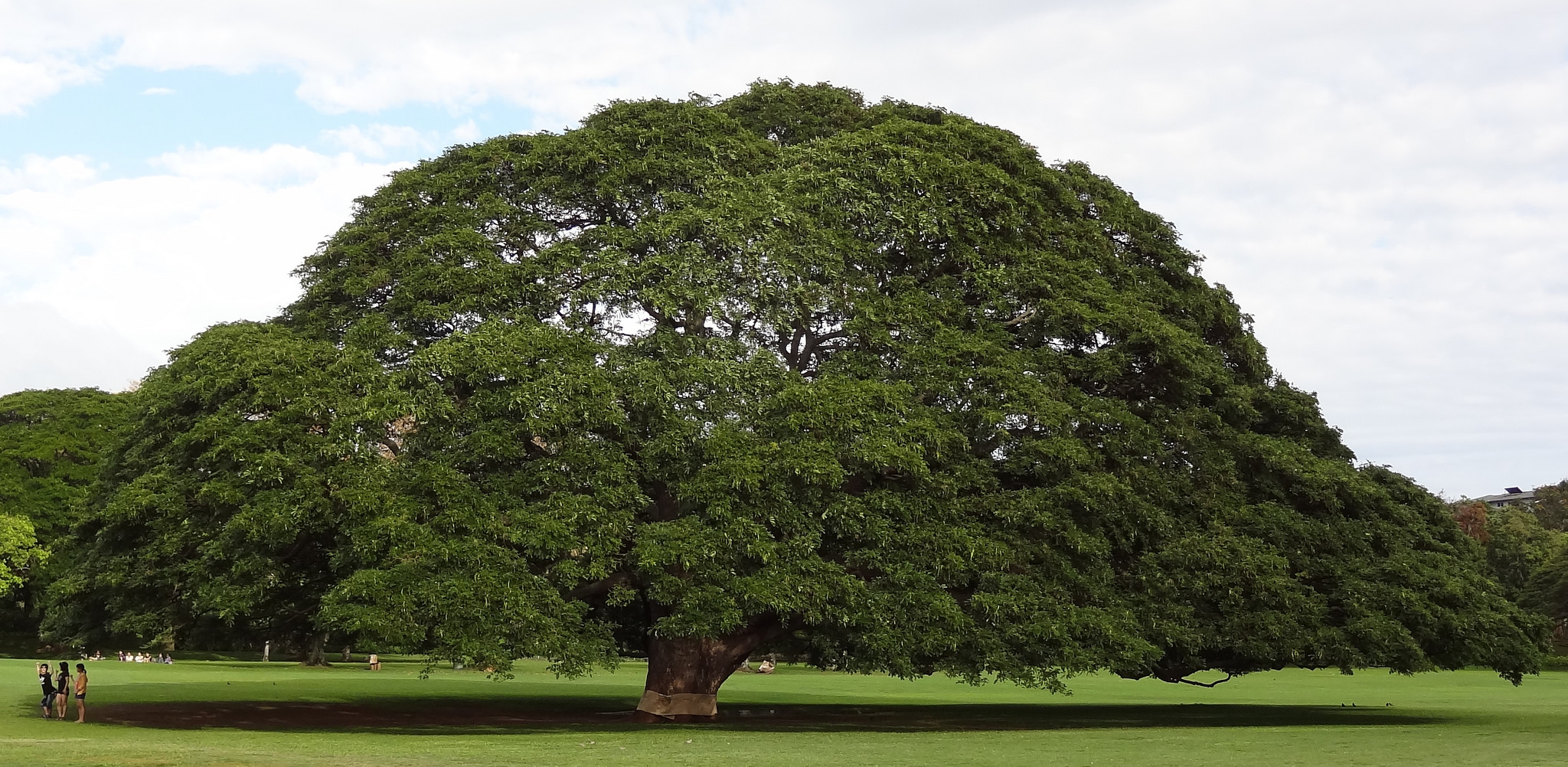 The One Tree In Hawaii That S Worth Nearly Half A Million