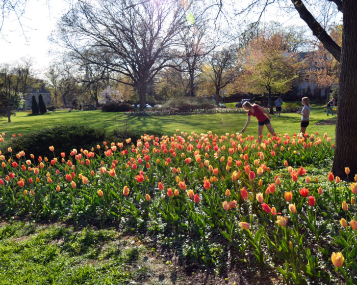 Sherwood Gardens Is A Free Admission Garden That Dates All The Way Back To  1920. Every Year, Approximately 80,000 Tulip Bulbs Are Planted, ...