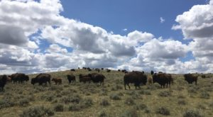 This Wyoming Ranch Is Home To the Largest Privately-Owned Bison Herd and You Gotta See It