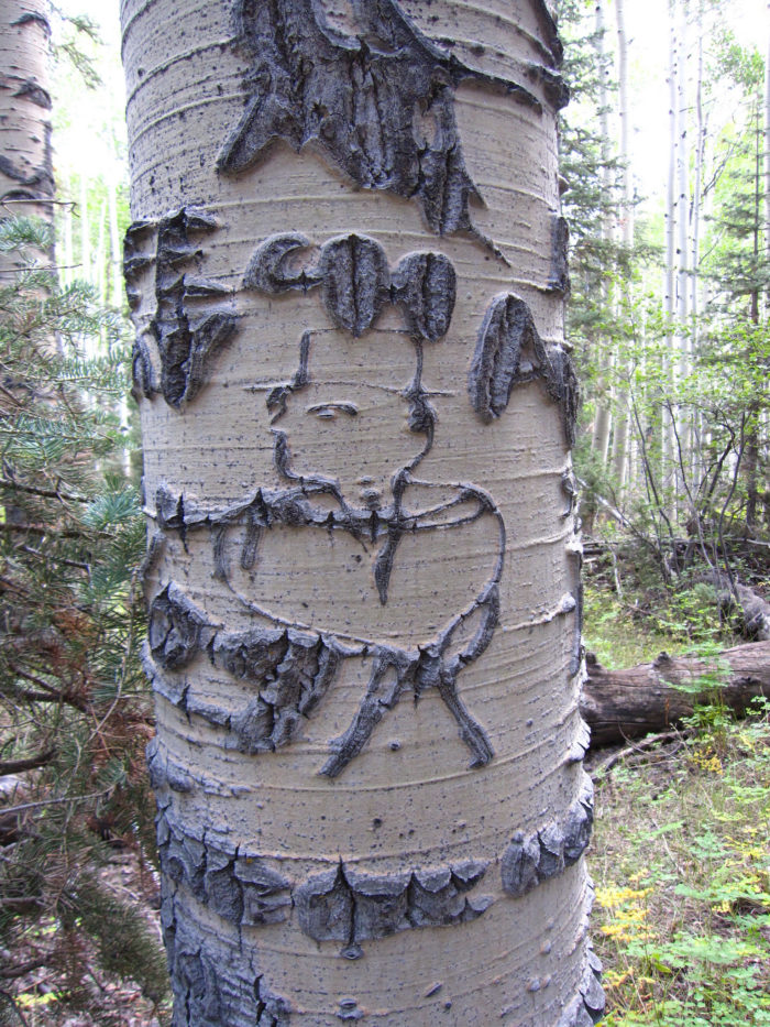 Arborglyphs in a secret forest on mt jefferson nevada
