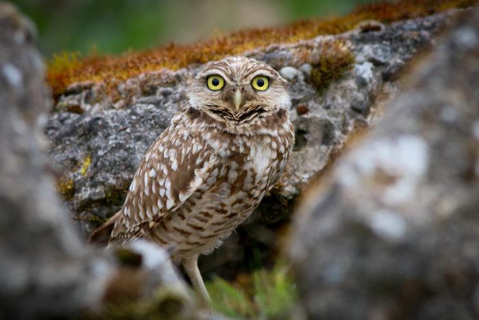 Portland Oregon Backyard Birds  Owls Portland Oregon