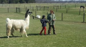 The Amazing Bed And Breakfast In Michigan Where You Can Hang Out With Llamas