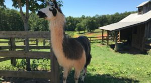 The Amazing Winery In North Carolina Where You Can Hang Out With Llamas