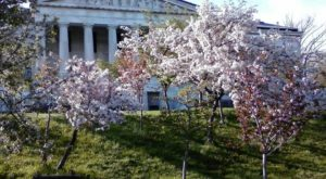 The Magical Cherry Blossom Festival In Buffalo You Simply Cannot Miss