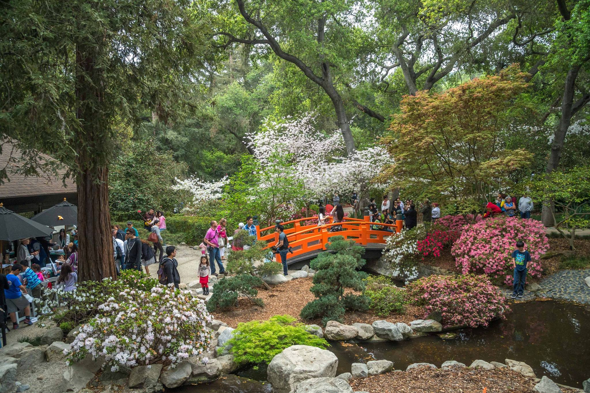 Descanso gardens is the best place to see cherry blossoms in southern california this spring for Gardens in southern california