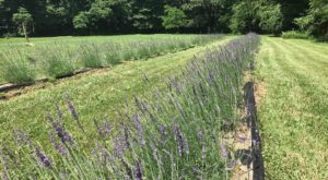 The Beautiful Lavender Farm Hiding In Plain Sight Near Cincinnati That You Need To Visit