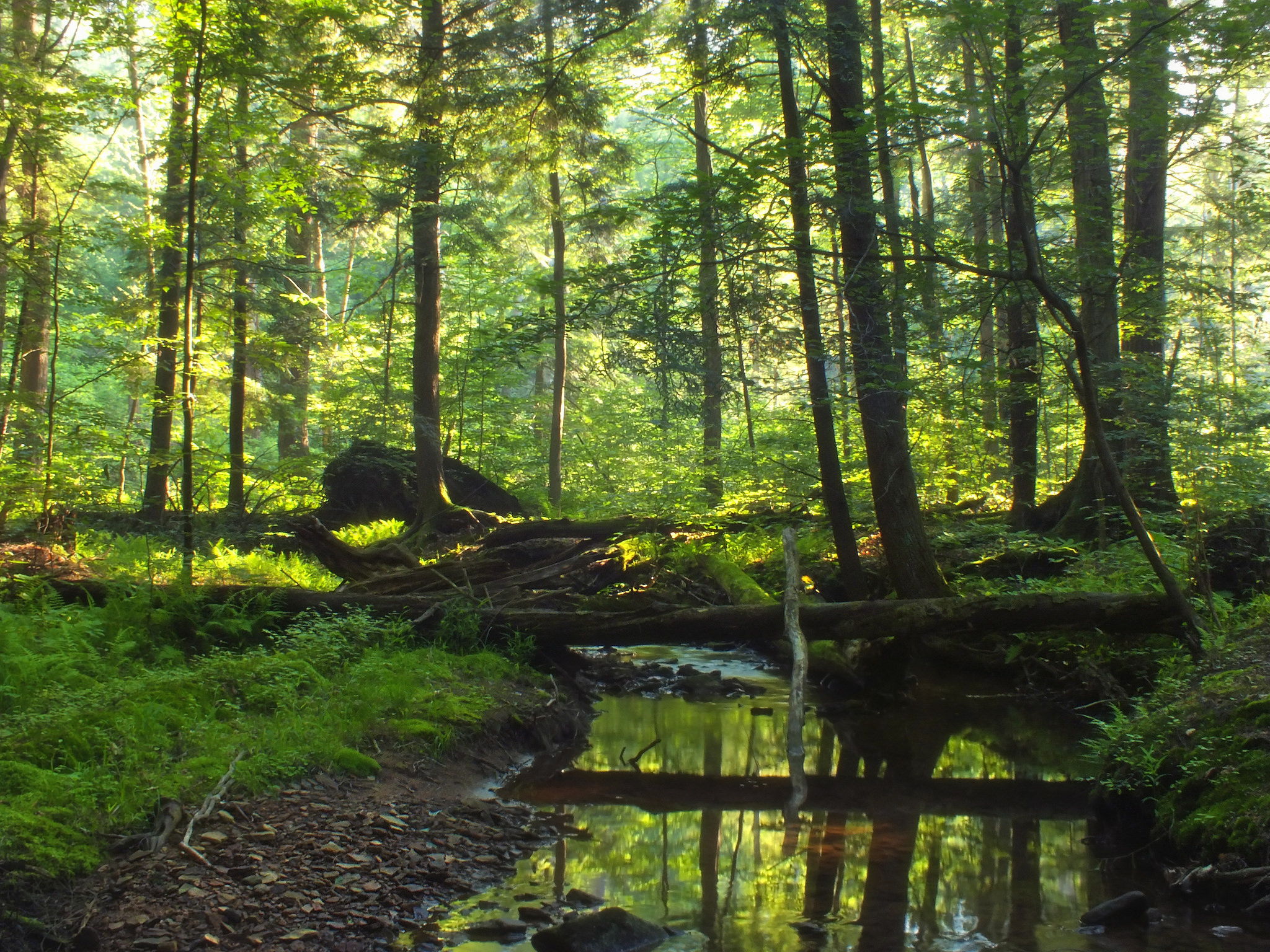 allegheny national forest has an ancient forest in