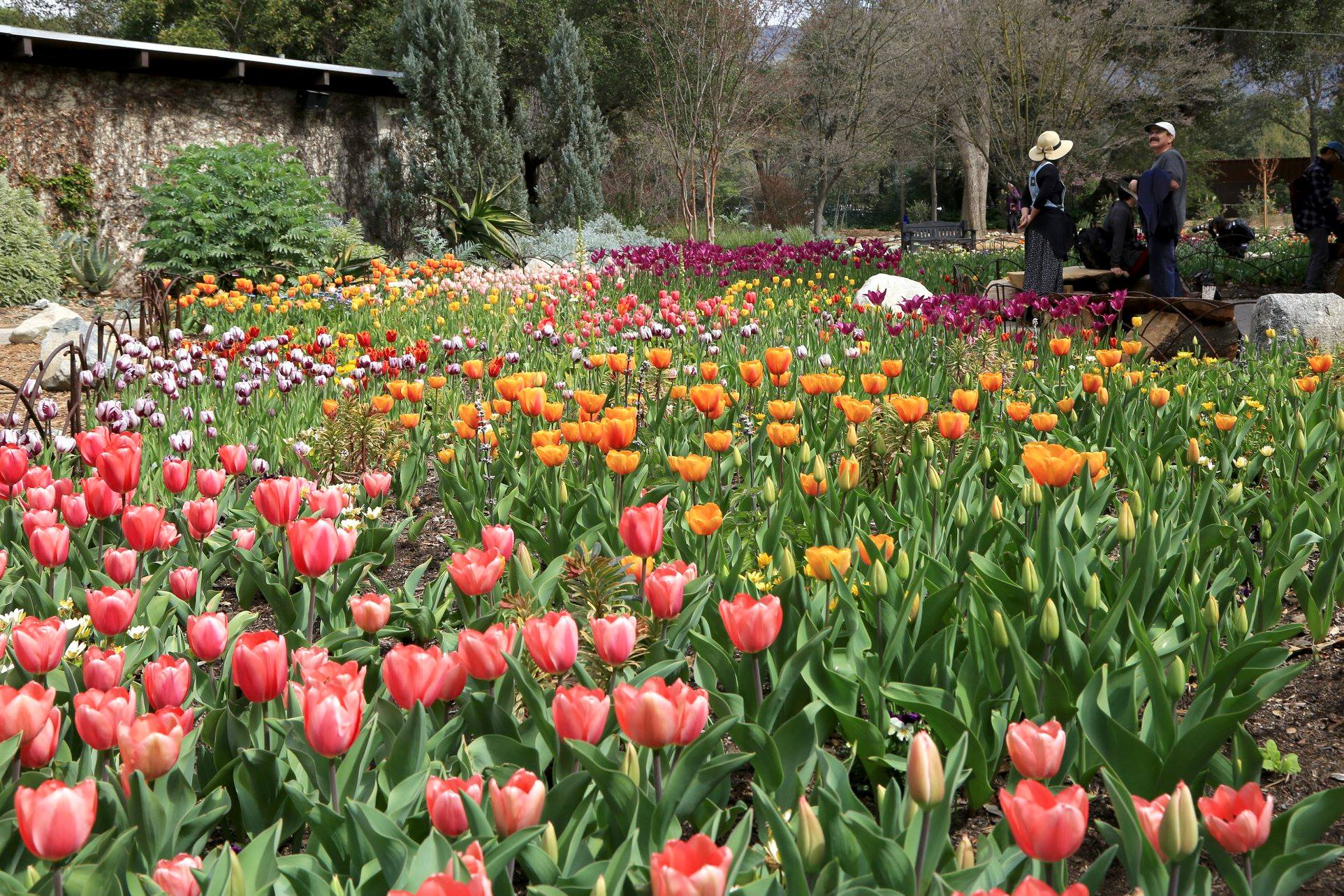 Descanso Gardens Is The Best Place To See Tulips In Southern California In The Spring