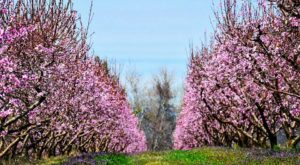 You Can't Help But Fall In Love With This Arkansas Peach Paradise