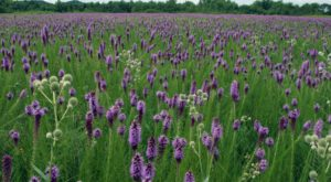 The Beautiful Blazing Star Field Hiding In Plain Sight In Arkansas That You Need To Visit