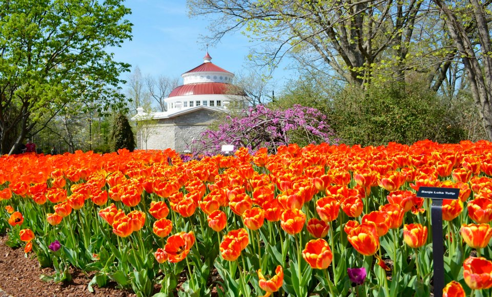 Don 39 T Miss The Tulips During Zoo Blooms At Cincinnati Zoo Botanical Garden