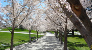 The One Magical Place In Utah To See Cherry Blossoms This Spring