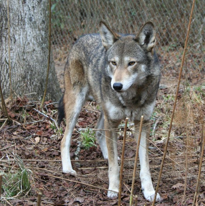 Red Wolf Howling Hear The Haunting Soun...