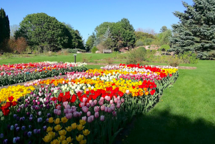 Visit TuliPalooza At McCrory Gardens In May 2018