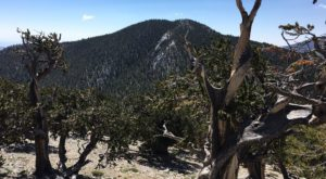 This Hike To Nevada's Oldest Living Tree Should Be On Every Nevadan's Bucket List