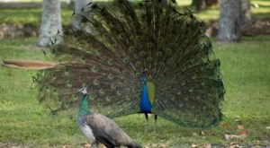 Most People Don't Know This Enchanting Peacock Park In Florida Exists