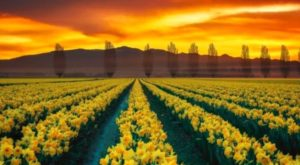 This Breathtaking U.S. Tulip Field Is Like Something From A Dream
