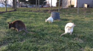 There's A Wallaby Farm In Ohio And You're Going To Love It