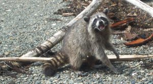 Zombie Raccoons Are Terrorizing This One Ohio Town And It's Downright Terrifying
