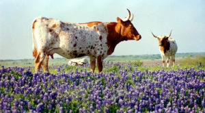 Here Are The 7 Best Spots To See Bluebonnets This Season In Texas