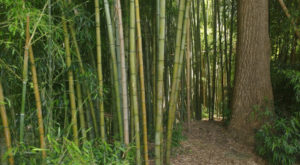 You'll Love A Walk Through This Enchanted Bamboo Forest In North Carolina